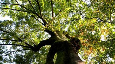 樹齢400年の木
